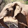 Elefantenbulle - Nahaufnahme