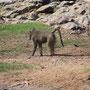 Pavian (Baboon)