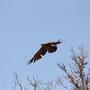 majestätischer Adler