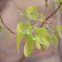 Mopane - Blätter