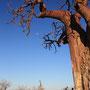 Baobab, auch bekannt als Affenbrotbaum