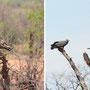 """Habichte (rechts """"African Harrier Hawk"""")"""