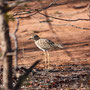 Kaptriel (Spotted Thick-Knee)