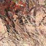 Steinböckchen (Steenbok)