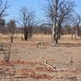 Gepard (Cheetah) ... das schnellste Landtier der Welt