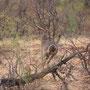 Riesentrappe (Kori Bustard) ... eine der schwersten flugfähigen Vögel