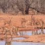 Impalas am Wasserloch