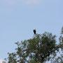 Schreiseeadler (African Fish Eagle)