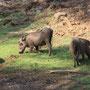 Warzenschweine (Warthogs)