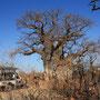 ca. 4000 Jahre (!) alter Baobab