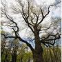 Древние дубы
