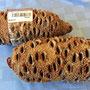 Pods (fruits) of the Australia banksia tree