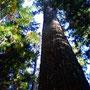 高野山の大杉