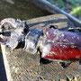 Hirschkäfer, Männchen - Totfund