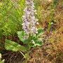 Orchidee: Bocksriemenzunge