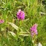 Orchidee: Knabenkraut