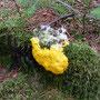 Schleimpilz (Gelbe Lohblüte): weder Pflanze noch Tier und auch kein Pilz!