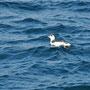 Un pingouin guillemot au large de chausey