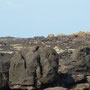 un huîtrier-pie sur le roc