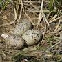 Ein Nest der Austernfischer. Gut getarnt am Boden.