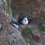 Die Die Eissturmvögel brüten an den Felsen. II