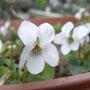 ちんちくりん(←人ごとと思えず)の白すみれは毎年たくさんの花が咲きます。かわいい。