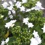 うちの定番紫陽花。花火みたい!