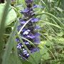 番外。うちの庭の花。ジュウニヒトエと言います。