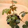 わたしのモールド植物。シュガーバイン。育ち盛りです。
