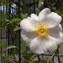 車窓から椿かな?と近づいて、1年前、某所で採取して挿し木で育った薔薇の花。