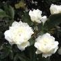 白いモッコウバラ。混ざってます。