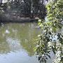 池に水がどぼどぼ、鯉がたくさん。