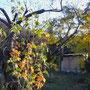 匡画廊の庭の秋。黄葉。