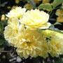 黄色いモッコウバラ。混ざり合ってます。