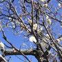 梅が咲き始めてた、やっぱり春だ。