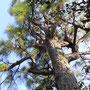 お庭にあった大きな松の木が力強く美しかったので記念に!