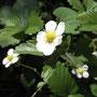 ワイルドストロベリーの花!結構株が大きく増えてきたので葉っぱを間引いています。