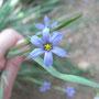ブルーの花って珍しいし、涼しい感じで良し。うまく写った。