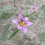 こちらは赤紫色のニワゼキショウ。こっちも良し。女子的な面持ち。