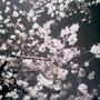 ぽこぽこと。白く浮かぶのです。谷中霊園にて。