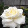 お母さんが友達からもらって来た白い薔薇。挿し木だそう。
