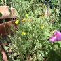 こんな風に勝手にお花が生えて素敵(?)になります。カタバミとアカバナかな。