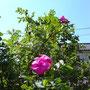 マゼンダ色の花はハマナス。実はジャムにします。ジャムはあんずのような味です。