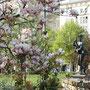 Magnolienblüte am Ulrichsplatz