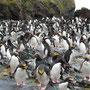 Maccaroni-Pinguine