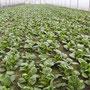 Spinat bereit für die Ernte