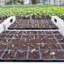 Paprika-Jungpflanzen