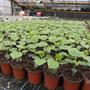Gurken-Jungpflanzen