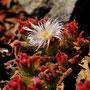 Mesembryanthemum crystallinum - Corse - Avril 2010