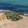 Erodium corsicum - Corse - Avril 2010